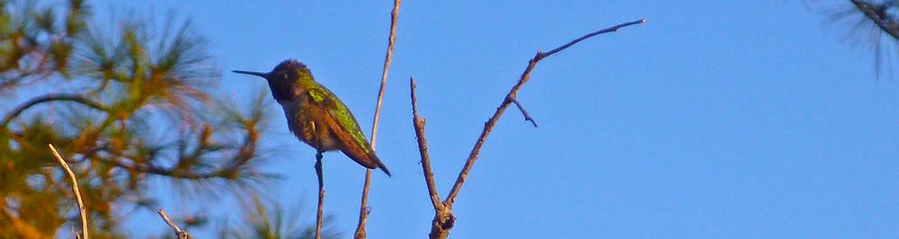 Chris Tarzan Clemens - Hummingbird Mission Pines